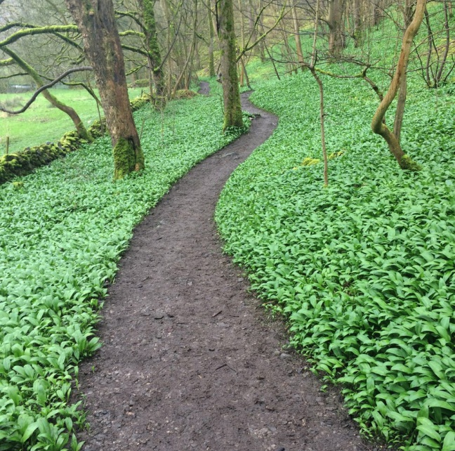 wild garlic near Bakewell in Derbyshire