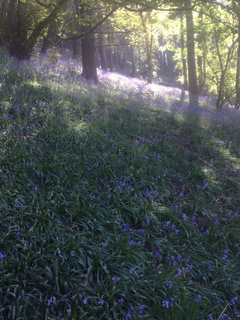 Bluebells in the woods at Danebridge