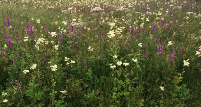 A riot of colour: Wild Angelica, Purple Loosestrife and Meadowsweet, Jura, Scotland
